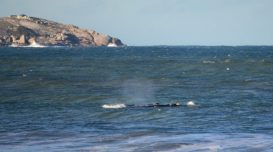 baleia-franca-2020-laguna-e1593685270241