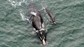 baleia-franca-farol-sta-marta-1