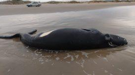 baleia-morta-praia-do-sol-1