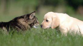 cachorro-gato-cao-animais-domesticos