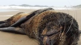 lobo-marinho-obito