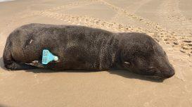 lobo-marinho-praia-da-cigana-1