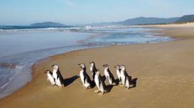 pinguins-magalhas-florianopolis