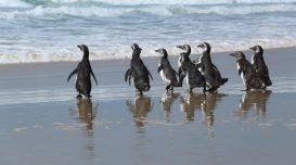 pinguins-soltos-e1602699772595