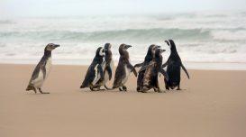 pinguins-soltos-laguna