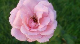rosa-de-anita-floripa-1