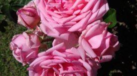 rosa-de-anita