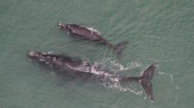 sobrevoo-registra-21-baleias-francas-na-regiao-sul-de-santa-catarina