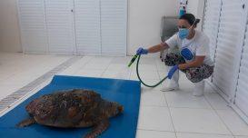 tartaruga-cabecuda-pmp-bs-2