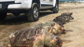 tartarugas-mortas-pmpbs-24-nov