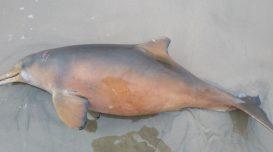 toninha-morta-praia-do-gi-1